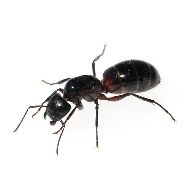 Kammerjäger für Ameisen uns mehr