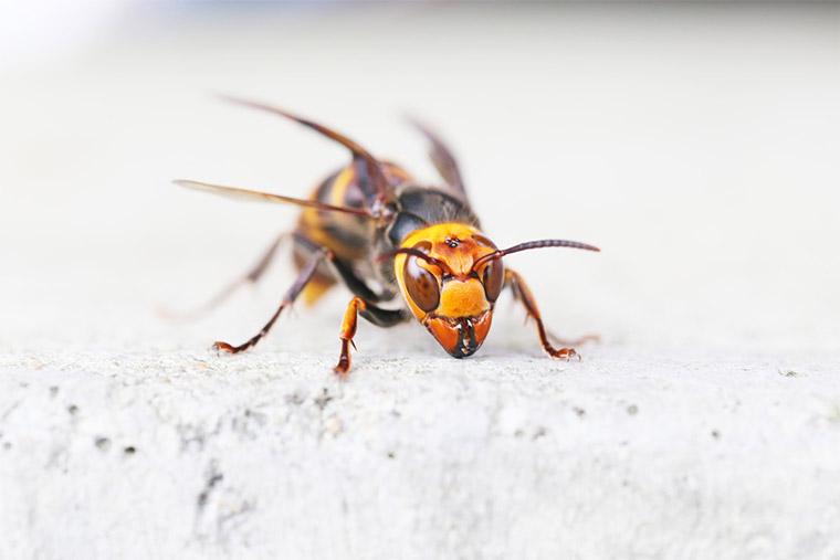 Abwehr von Wespen mit Prokschy