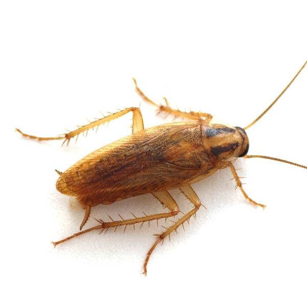 Bekämpfung von Kakerlaken und Schaben