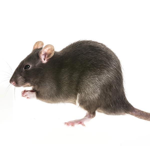 Beseitigung von Ratten