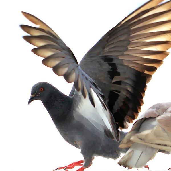 Beseitigung von Tauben